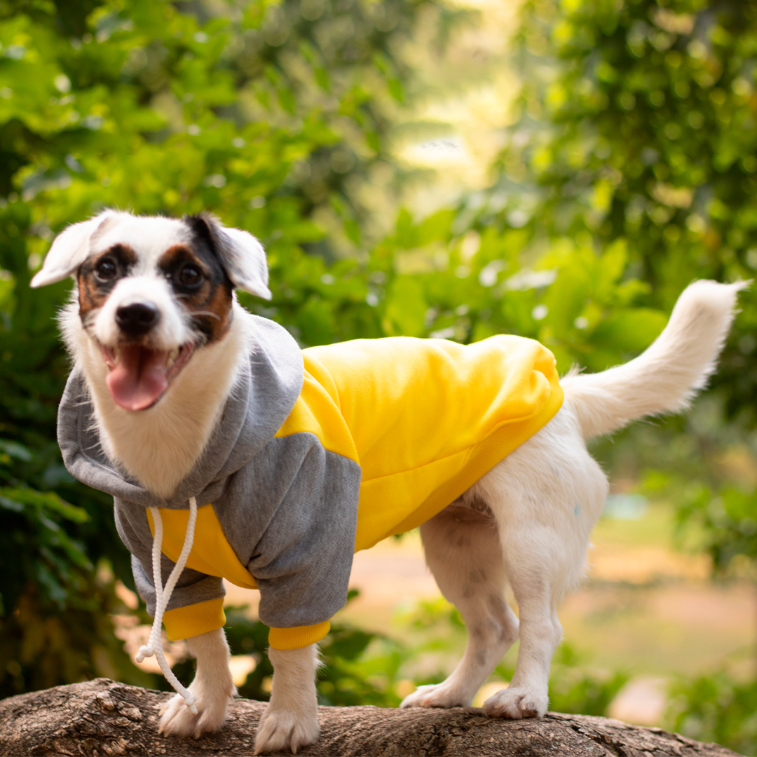 Imagen perro blanco con manchas negras y marrones usando el Buzo Gris con Amarillo, una prenda abrigada con chulo para perros y gatos